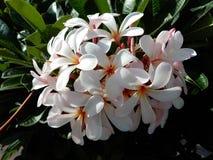 Frangipani Plumeria alba Στοκ φωτογραφίες με δικαίωμα ελεύθερης χρήσης