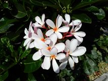 Frangipani Plumeria alba Στοκ Εικόνες