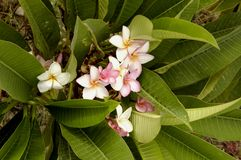 Frangipani (Plumeria alba) Στοκ Εικόνες