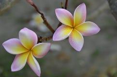 Frangipani (Plumeria alba) Στοκ Εικόνα