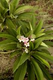Frangipani (Plumeria alba) Stock Photo