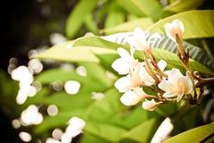 Frangipani of plumeria algemeen wordt gebruikt voor verfraait woningen die Stock Afbeeldingen