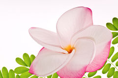 Frangipani/Plumeria bloem Stock Afbeeldingen