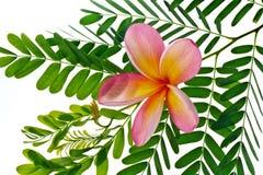 Frangipani/Plumeria bloem Stock Foto