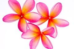 Frangipani/Plumeria bloem Stock Foto's