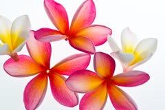 Frangipani/Plumeria bloem Royalty-vrije Stock Foto