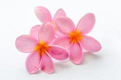 Frangipani, Plumeria-bloem Royalty-vrije Stock Foto's