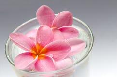 Frangipani, Plumeria-bloem Royalty-vrije Stock Foto