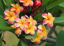Frangipani, Plumeria-bloem Royalty-vrije Stock Afbeeldingen