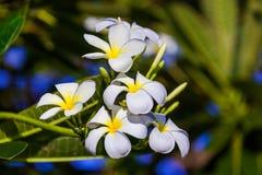Frangipani & x28; Plumeria& x29; bloem - symbool van Bali Indonesië Stock Afbeelding