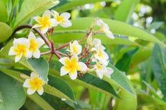 Frangipani, Plumeria blooming, Templetree. Royalty Free Stock Photos
