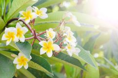 Frangipani, Plumeria blooming, Templetree. Royalty Free Stock Photo