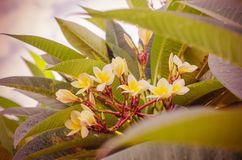 Frangipani, Plumeria blooming, Templetree. Royalty Free Stock Photography