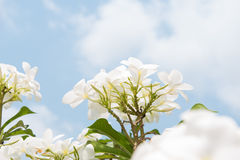 Frangipani, Plumeria blooming. Royalty Free Stock Photo