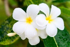 Frangipani or plumeria blossom cluster on the green tree. With rain drops on white petals and leaves Royalty Free Stock Images