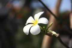 Frangipani Plumeria-Blumen auf den Niederlassungen Lizenzfreie Stockfotos