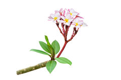Frangipani plumeria branch isolated on white background Stock Images