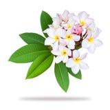 Frangipani plumeria branch isolated on white background Stock Photo
