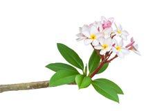 Frangipani plumeria branch isolated on white background Stock Image