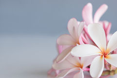 Frangipani / plumeria. Bunch of pink and white frangipani with space for copy Royalty Free Stock Image