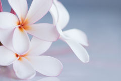 Frangipani / plumeria. Bunch of pink and white frangipani with space for copy Stock Images