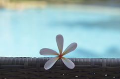 Frangipani. Or plumeria on the chair Royalty Free Stock Image