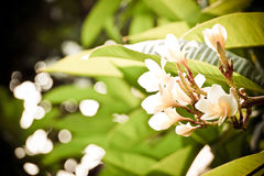 Frangipani or plumeria commonly used for decorate dwellings. Stock Images