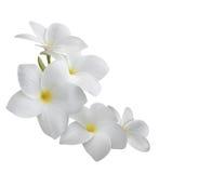 Frangipani (plumeria) d'isolement sur le blanc Photographie stock