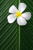 Frangipani/Plumeria en las hojas verdes Fotografía de archivo