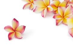Frangipani, plumeria, fiore di frangippani, su bianco Immagini Stock