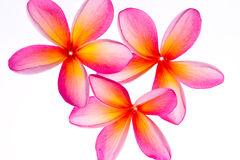 Frangipani/Plumeria flower Stock Photos