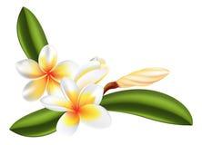 Frangipani or plumeria flower. Illustration of beautiful frangipani or plumeria flowers Royalty Free Stock Photo