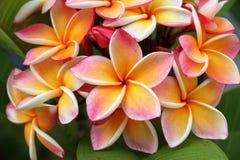 Frangipani, Plumeria flower Stock Images