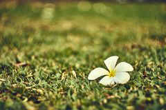 Frangipani or Plumeria flower fall on the grass field. stock images
