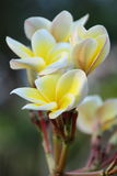 Frangipani or Plumeria. Flower in the garden Royalty Free Stock Images