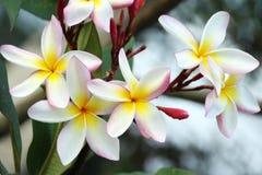 Frangipani or Plumeria. Flower in the garden Royalty Free Stock Photos