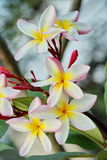 Frangipani or Plumeria. Flower in the garden Royalty Free Stock Photography