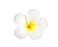 Frangipani or Plumeria Flower Isolated on White Background Stock Photography