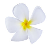 Frangipani or Plumeria Flower Isolated on White Background Stock Images