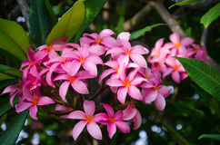 Frangipani (plumeria) flower. Pink Frangipani (plumeria) flower in a natural environment, including leaves, Hawaii, USA Royalty Free Stock Photos
