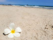 Frangipani, plumeria flower on sand. White flower on the beach and sea with blue sky background. Summer time concept. Rest Royalty Free Stock Photo