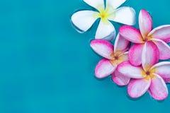 Frangipani Plumeria flower tropical pool Royalty Free Stock Images