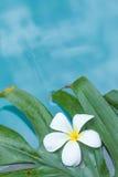 Frangipani Plumeria flower tropical pool Stock Image