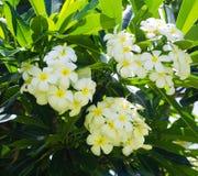 Frangipani (plumeria) flower. White Frangipani (plumeria) flower in a natural environment, including leaves, Hawaii, USA Royalty Free Stock Photos