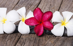 Frangipani or Plumeria flower on wooden background. Royalty Free Stock Photography