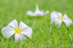Frangipani or Plumeria flower Royalty Free Stock Images