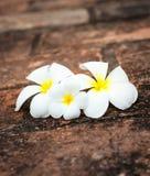 Frangipani (plumeria) flowers Royalty Free Stock Images
