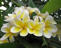 Frangipani (plumeria) flowers Royalty Free Stock Photo
