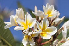 Frangipani (plumeria flowers) Stock Photos