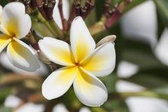 Frangipani (plumeria flowers) Stock Photo